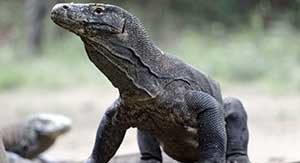 コモドドラゴン コモド島国立公園 コモド島ツアー 観光 情報 世界 遺産 巡り