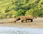 世界遺産コモド国立公園 コモドドラゴンツアー バリ ツアー