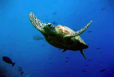 バリカメ、ウミガメの保護