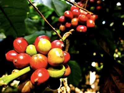 インドネシアコーヒー, インドネシアコーヒーフェスティバル